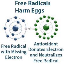 Free Radicals Harm Eggs