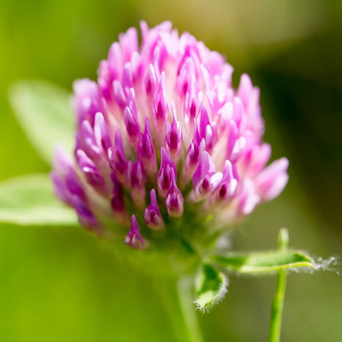 Red Clover: Is It Safe and Effective for Fertility?